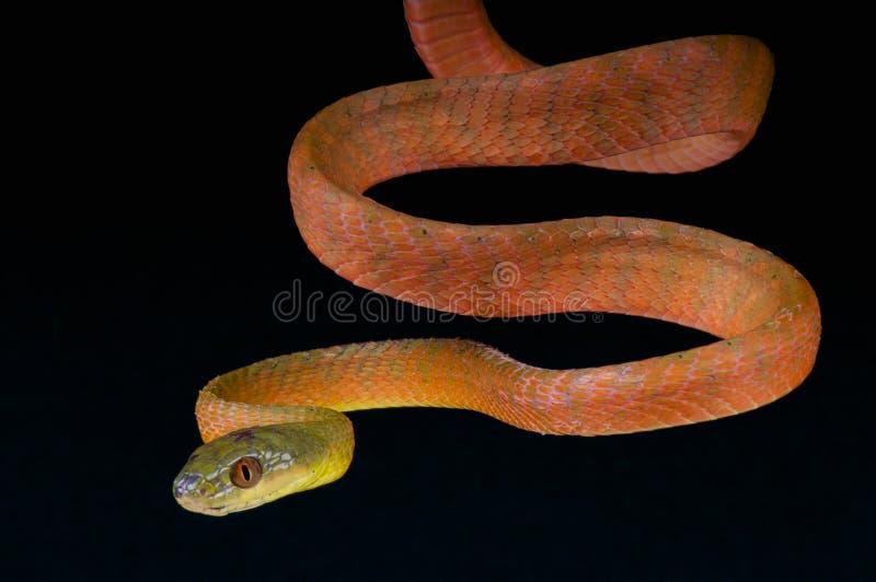 Serpent de chat/nigriceps rouges de Boiga photos stock