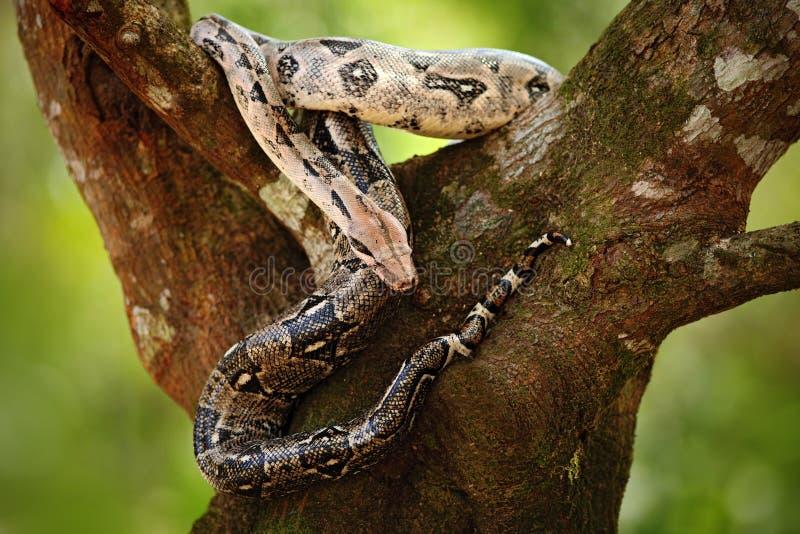Serpent de constricteur de boa sur l'arbre dans la nature sauvage, Belize photographie stock libre de droits
