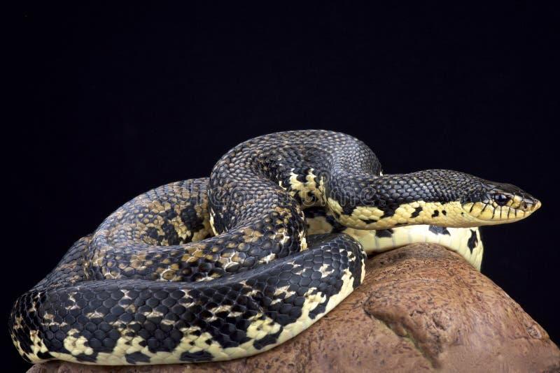 Serpent de hognose géant malgache (madagascariensis de Leioheterodon) photos libres de droits