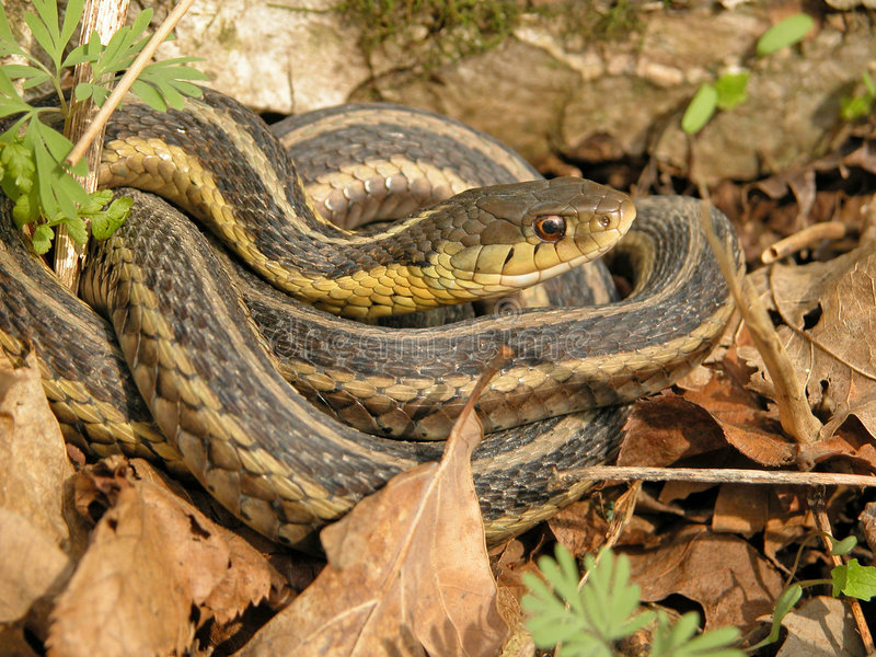 Serpent de jarretière photos stock