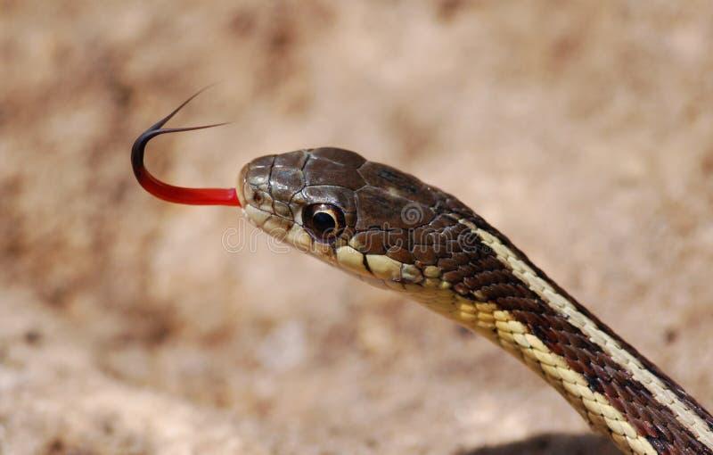 Serpent de jarretière image stock