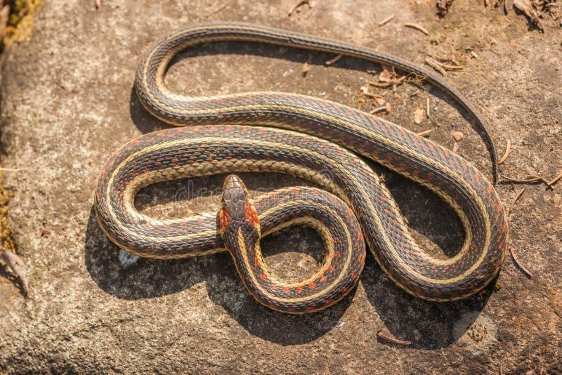 Serpent de jarretière d'en haut image stock