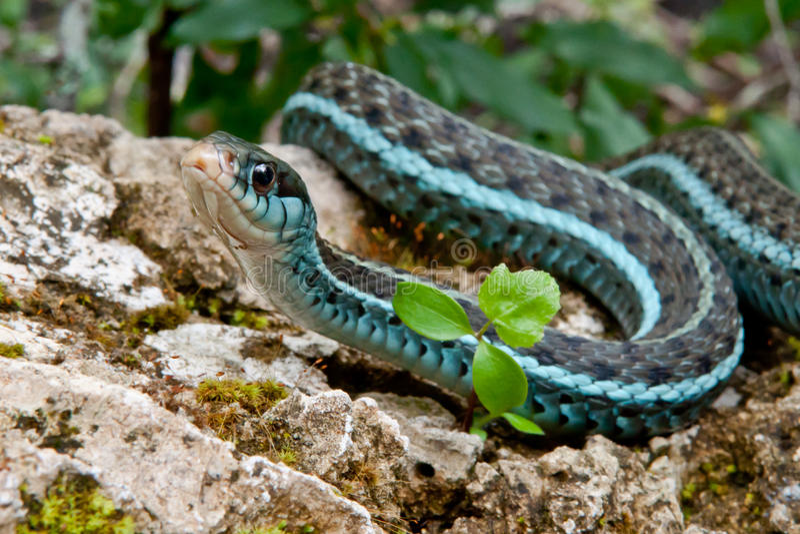Serpent de jarretière de Bluestripe photographie stock