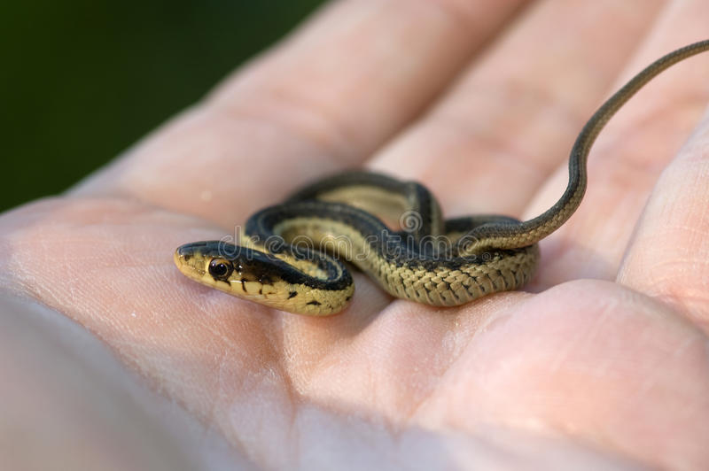 Serpent de jarretière de chéri à disposition photographie stock