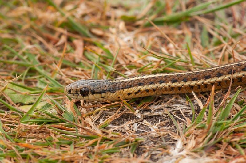 Serpent de jarretière du nord-ouest images stock