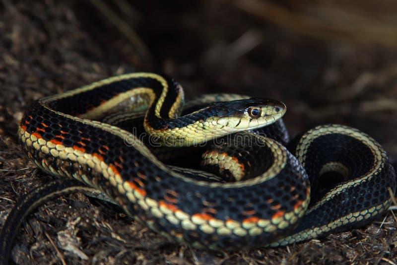 Serpent de jarretière enroulé image stock