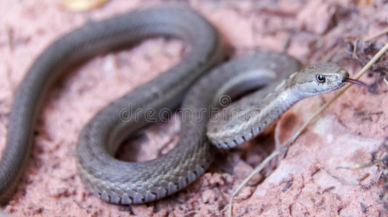 Serpent de jarretière terrestre occidental - elegans de Thamnophis photographie stock