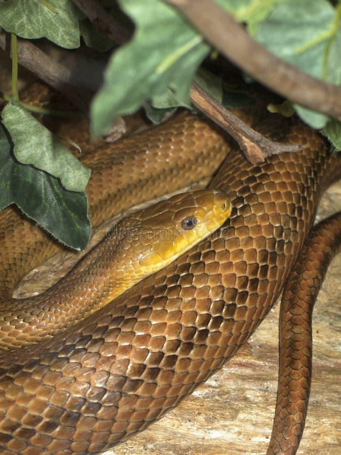 Serpent de jarretière de Thamnophis dans la forêt d'Amazone, spécimen du Venezuela, Amérique du Sud photos libres de droits