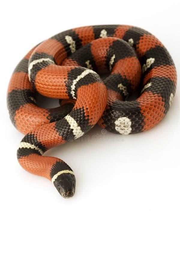Serpent de lait de Nelson?s images stock