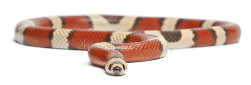 Serpent de lait hondurien de disparaition tricolore, hondurensis de triangulum de Lampropeltis images libres de droits