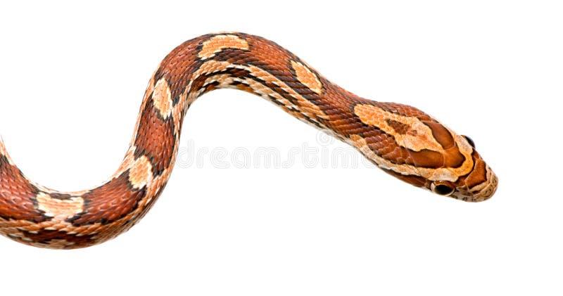 Serpent de maïs photographie stock libre de droits