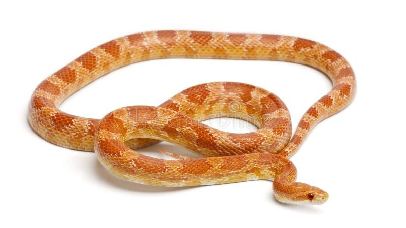 Serpent de maïs albinos d'Okeetee, serpent de rat rouge photographie stock libre de droits