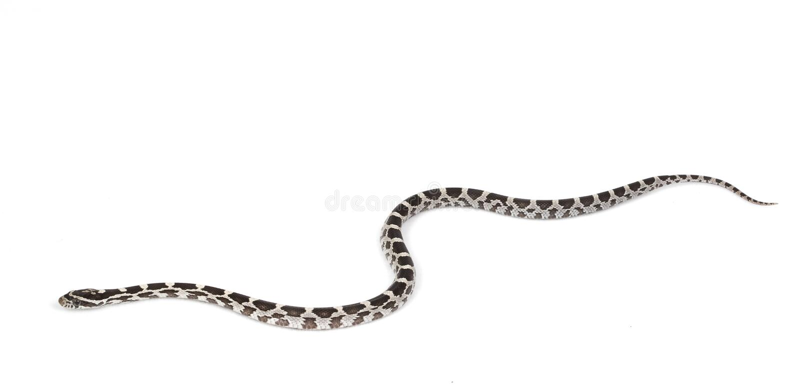 serpent de maïs d'amery photo stock