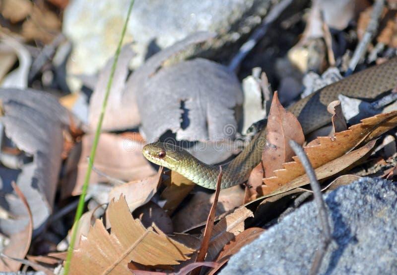 Serpent de marais gonflé par noir australien, photographie stock libre de droits