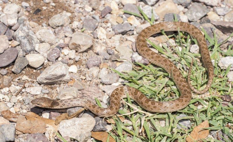 Serpent de nuit photos stock