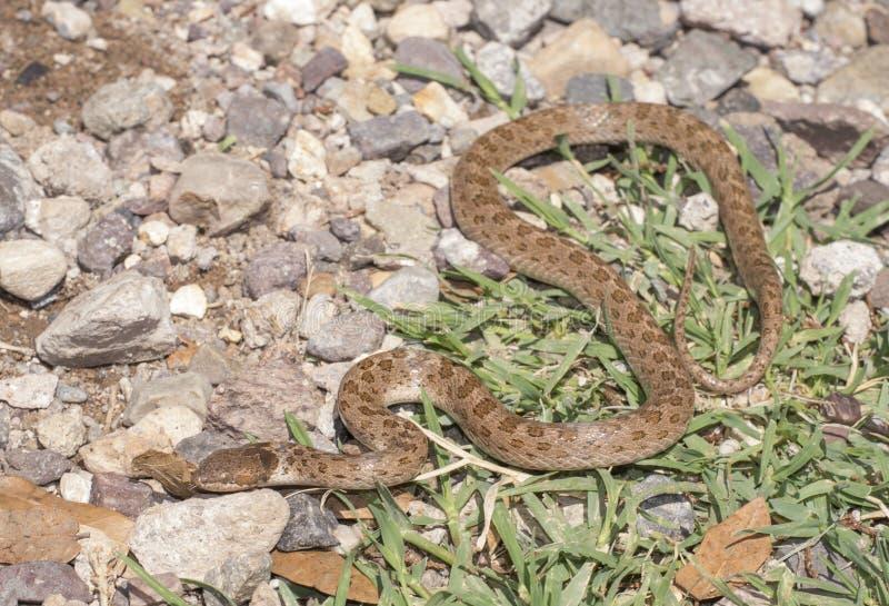 Serpent de nuit photographie stock