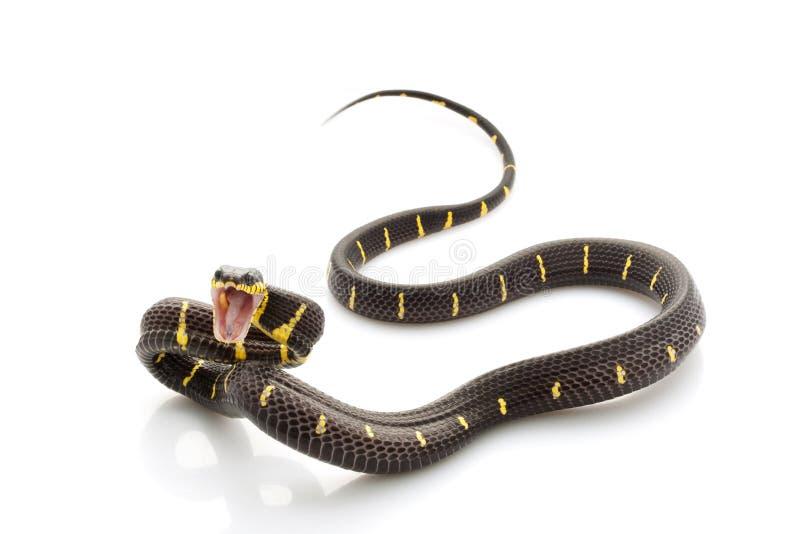 serpent de palétuvier photos stock