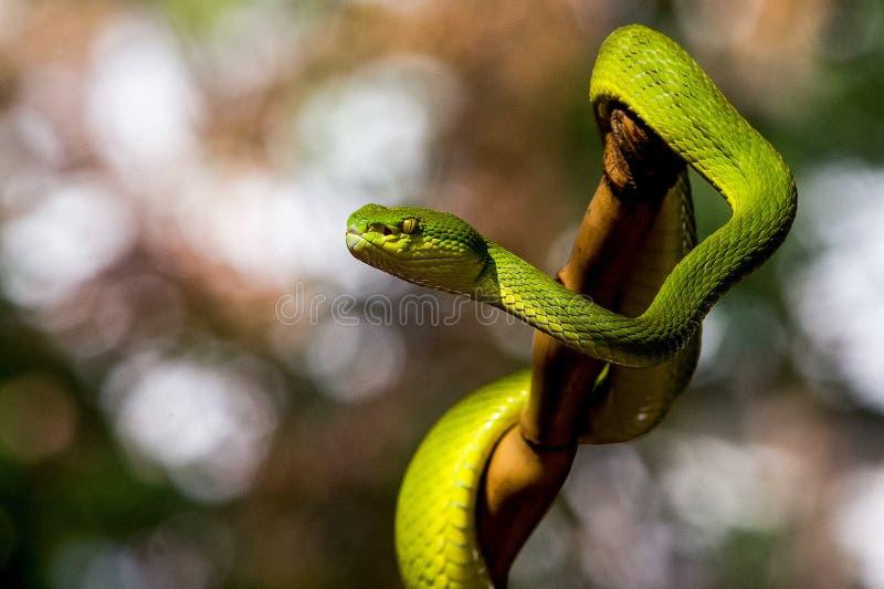 Serpent de Pit Viper photographie stock