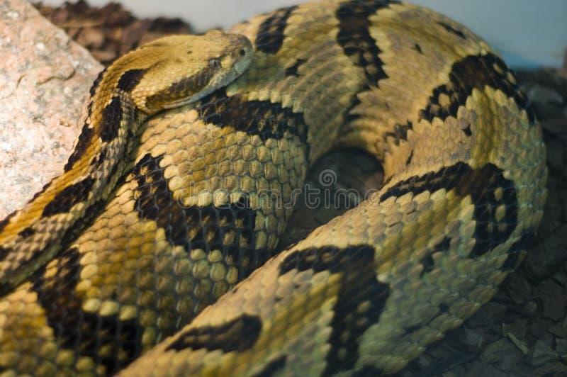 Serpent de poison images stock