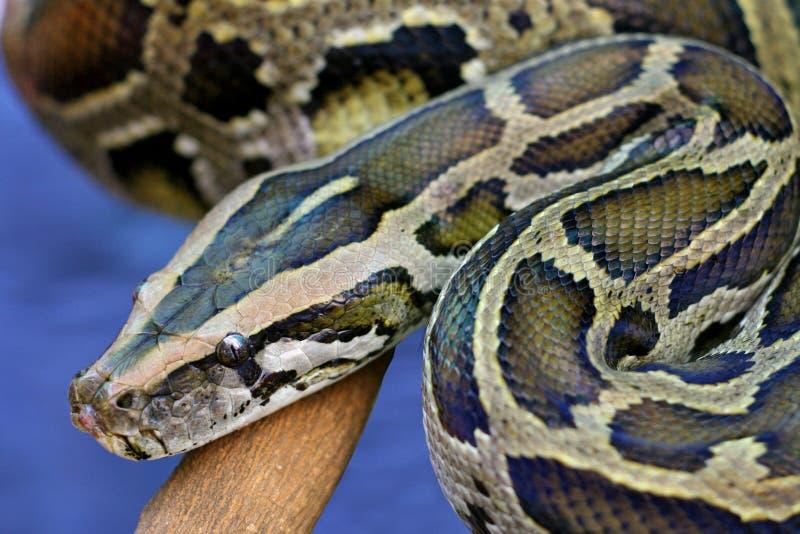 Serpent de python image stock