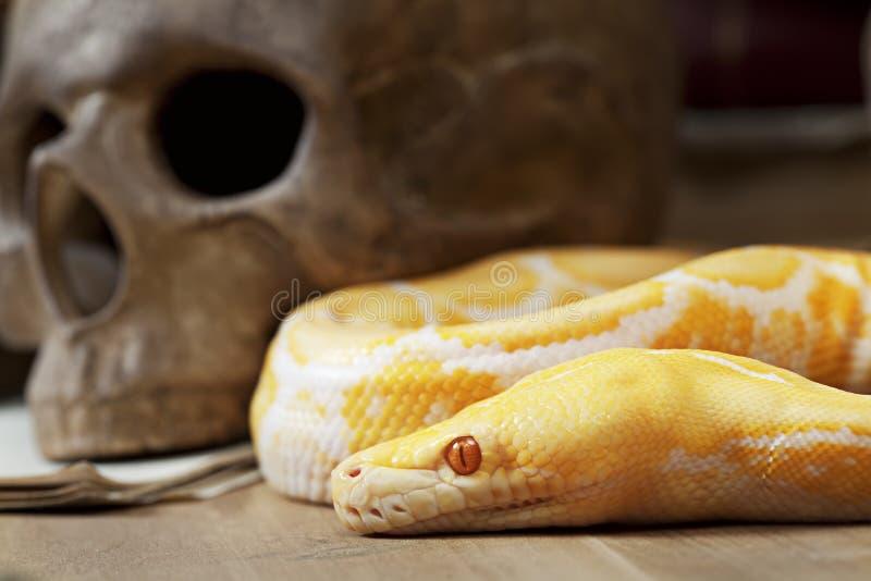 Serpent de python albinos de tigre photographie stock
