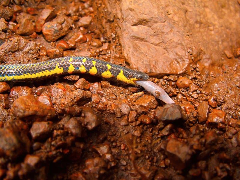 Serpent de queue de bouclier de Bicatenate, bicatenata d'Uropeltis, Bhimashankar, maharashtra photographie stock libre de droits