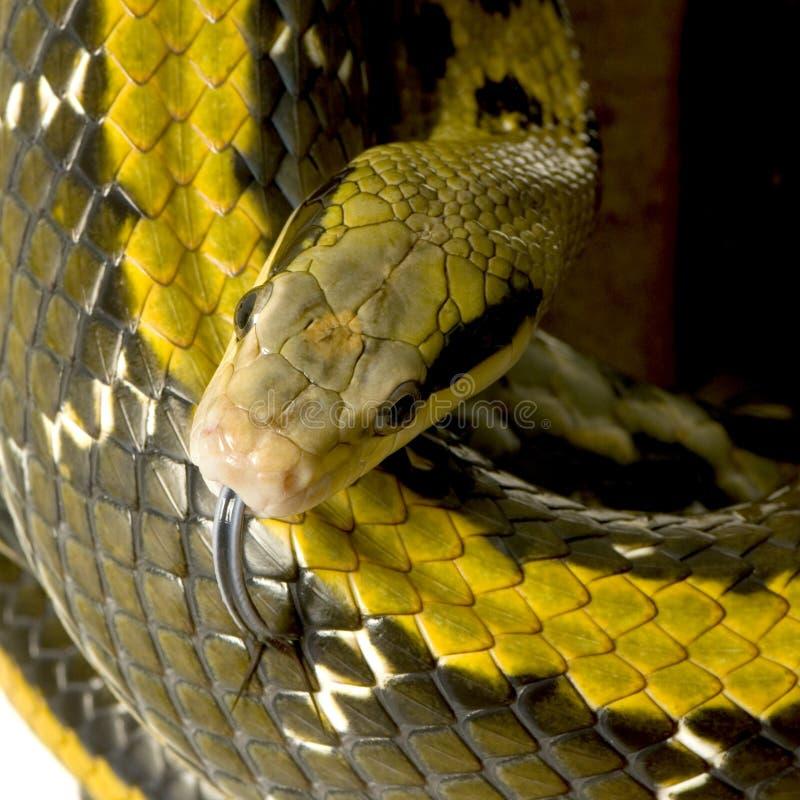 Serpent de rat photos libres de droits