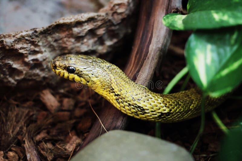 Serpent de rat images libres de droits