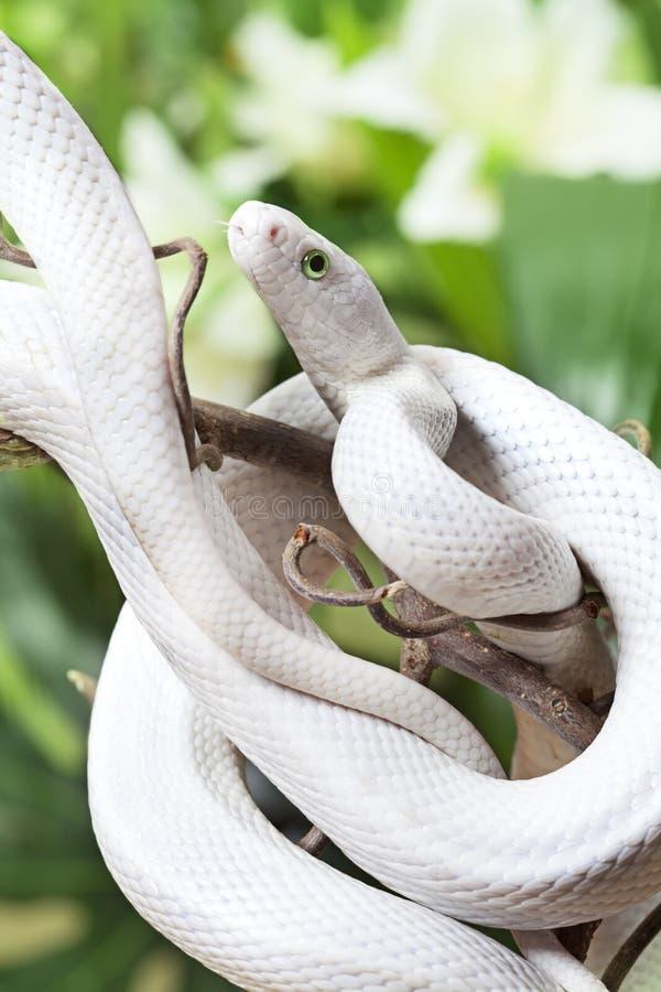 Serpent de rat du Texas photos libres de droits