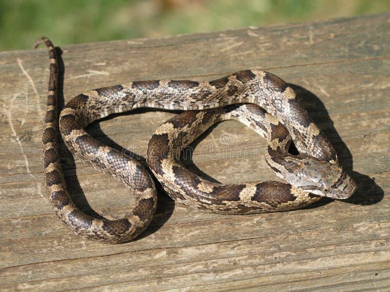 Serpent de rat noir image libre de droits