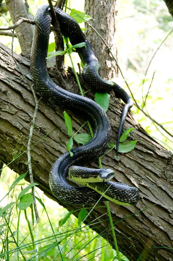 Serpent de rat noir oriental grimpant à un arbre photographie stock libre de droits