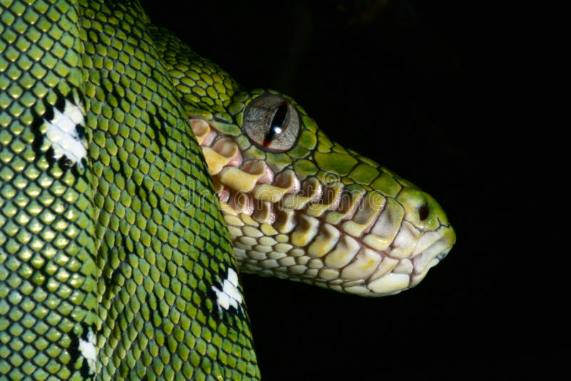 serpent de serpent de reptile de forêt humide de vert vert de boa image stock