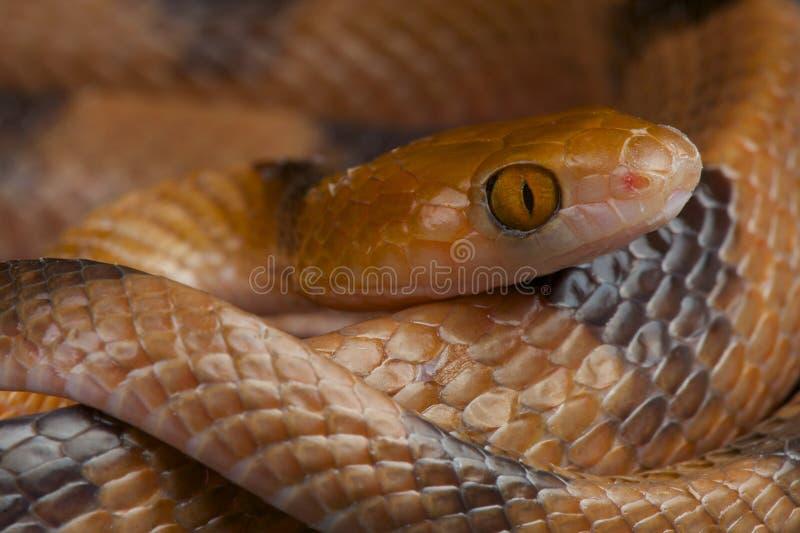 Serpent de tigre/semmianulates de Telescopus photographie stock