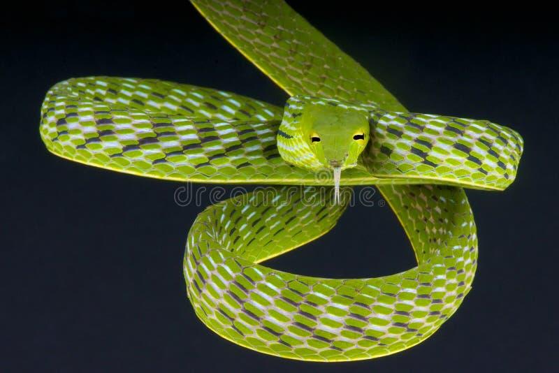 Serpent de vigne/prasina d'Ahaetulla image stock