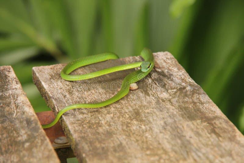 Serpent de vigne vert prêt à sauter photo libre de droits