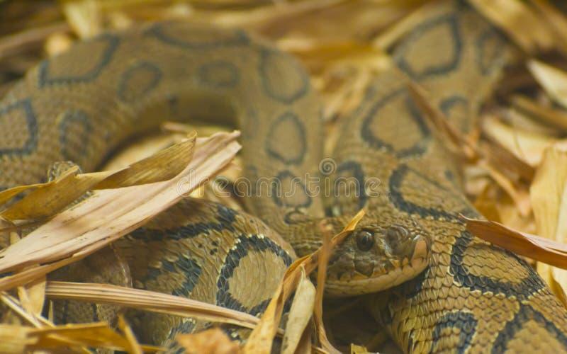 Serpent de vipère de Russels images libres de droits