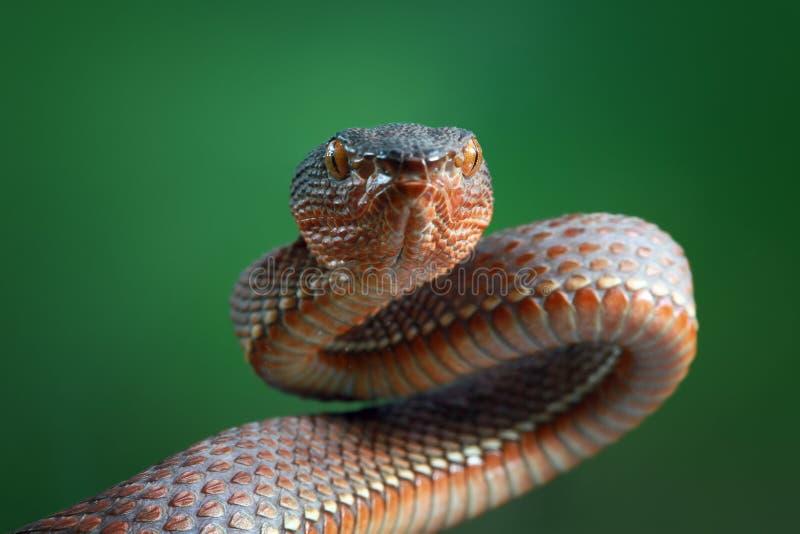 Serpent de vipère, serpent de vipère de palétuvier, serpent, plan rapproché photographie stock libre de droits