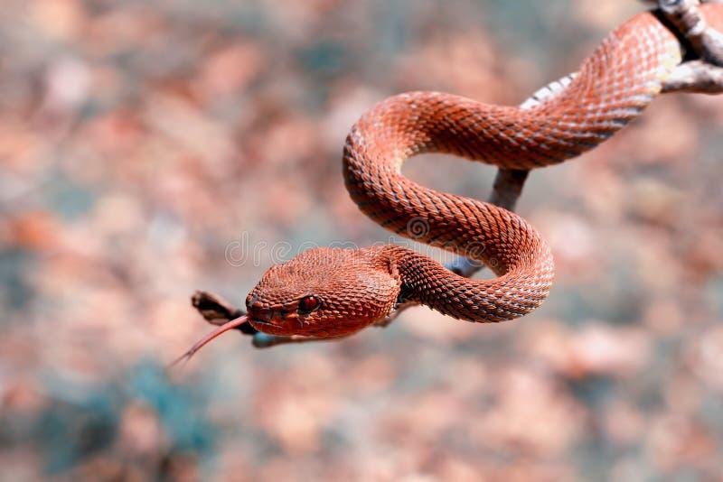 Serpent de vipère, plan rapproché, tête, reptile images stock