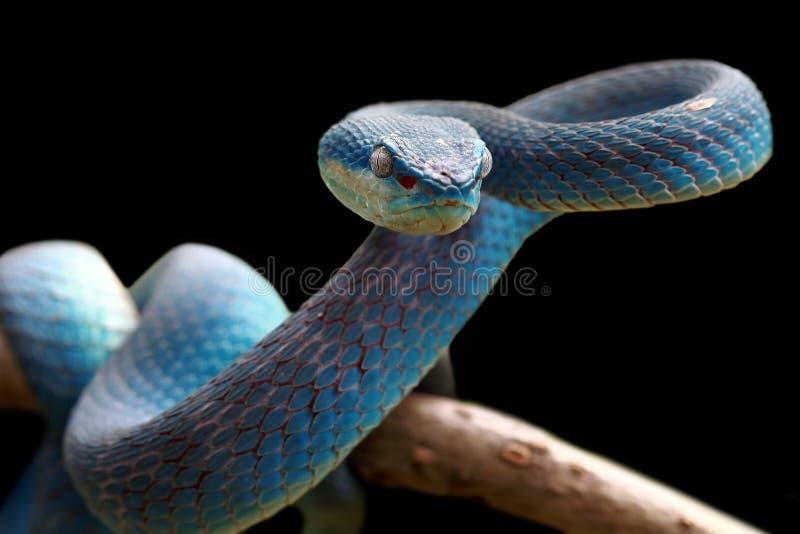 Serpent de vipère sur prêt à attaquer image libre de droits