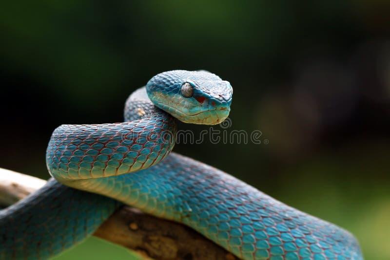 Serpent de vip?re sur pr?t ? attaquer images libres de droits