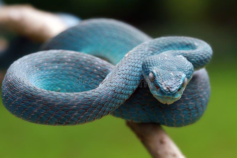 Serpent de vip?re sur pr?t ? attaquer images stock