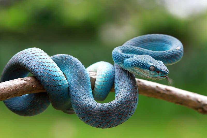 Serpent de vip?re sur pr?t ? attaquer photos libres de droits