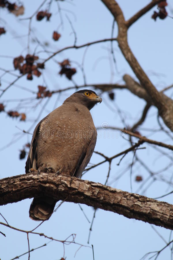 Serpent Eagle royalty free stock photography