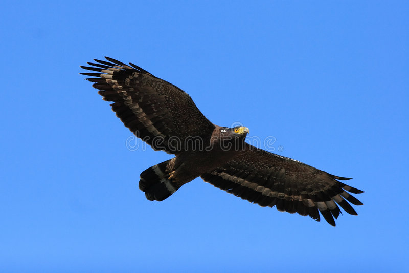 Serpent Eagle. Flight of Serpent Eagle with wide-open wings stock image
