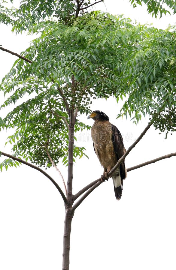 Serpent eagle. Beautiful shot of serpent eagle looking beautiful royalty free stock photo