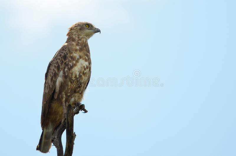 Serpent Eagle (cinereus de Brown de Circaetus) photographie stock libre de droits