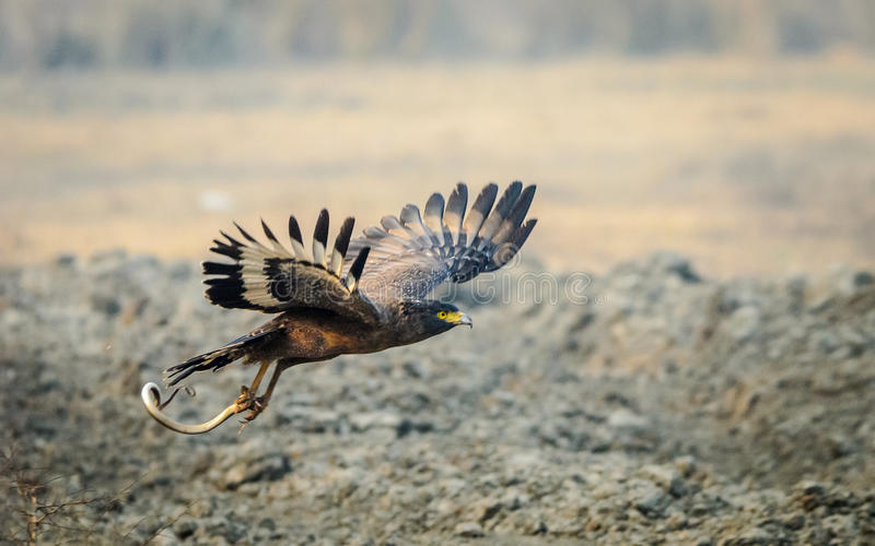 Serpent Eagle flying with kill. Flying Serpent Eagle with snake as kill at Bharatpur. Serpent eagle taking off with snake as kill stock image