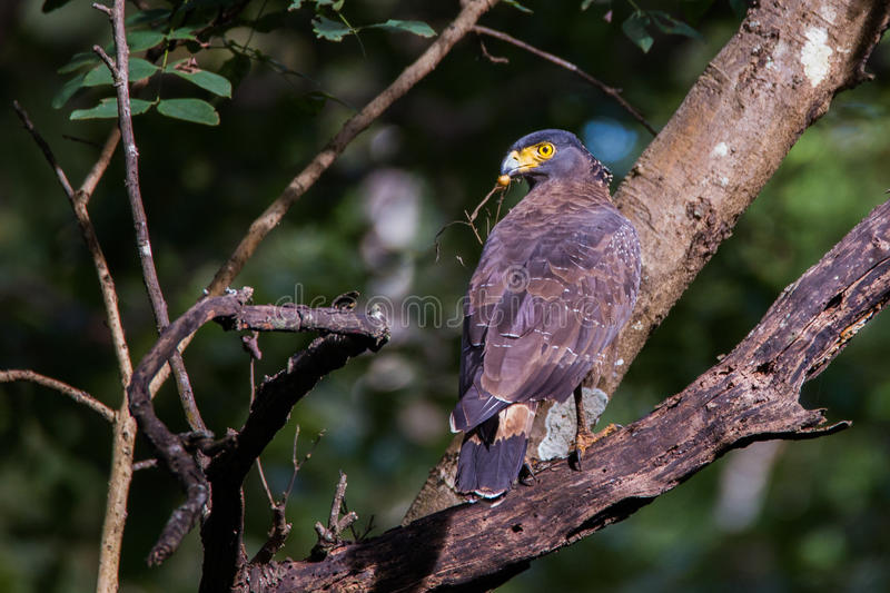 Serpent eagle with Food. Crested serpent eagle with prey in its mouth. Canon 6D 550mm f6 1/400 ISO 1000 royalty free stock image