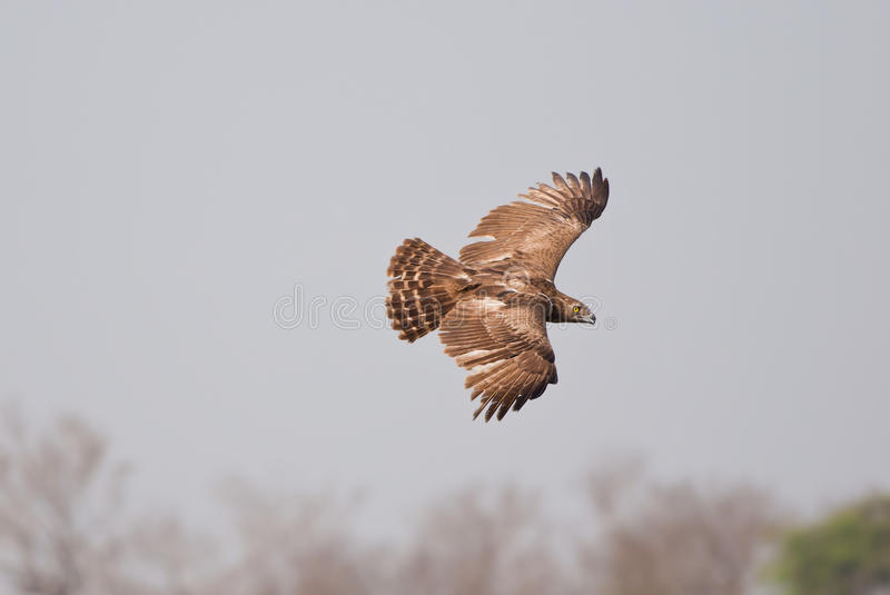 Serpent-Eagle Noir-chested image stock