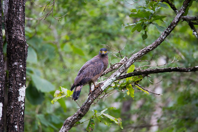 Serpent eagle. Perched on a tree at Bhadra tiger reserve of India. Canon 6D 550mm f5.0 ISO 400 1/2000 stock photos